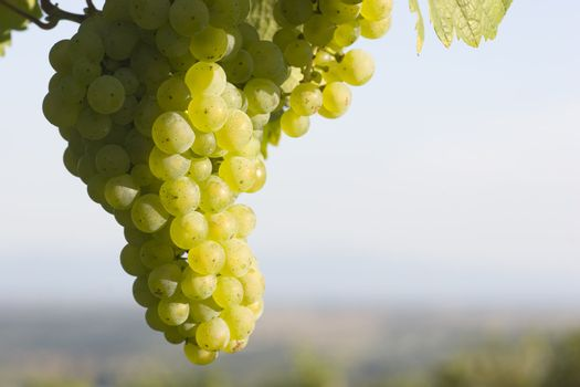 Sunny cluster of green grapes on vine with blurry landscape in the background