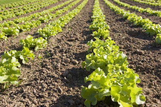 Rows of fresh lettuce in a field
