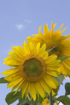 Sunflowers on a sunny day against blue sky
