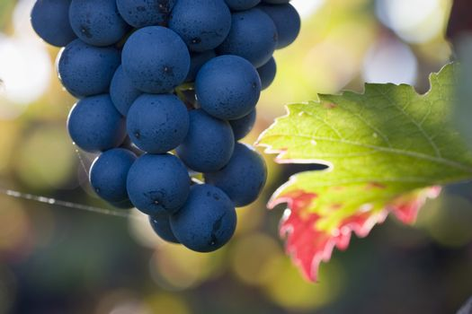Close-up of a cluster of purple grapes