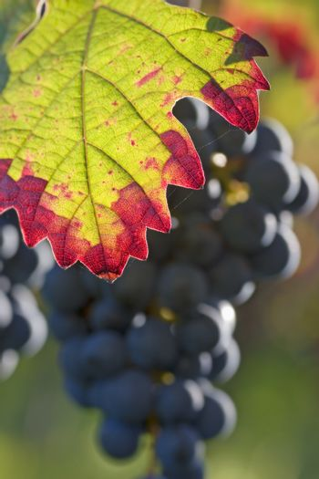 Leaf in a vineyard with grapes in the background