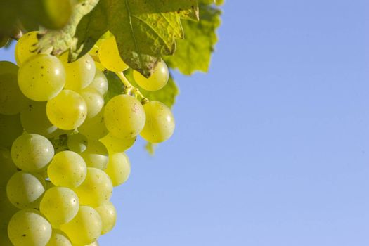 Close-up of a cluster of green grapes in the sun with blue sky in the background