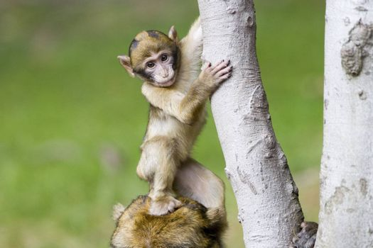 Cute young monkey stepping on its mothers head