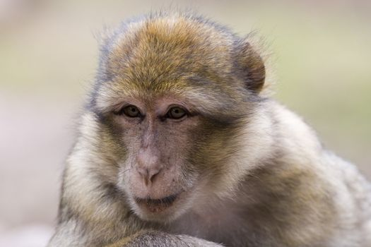 Portrait of a female barbary ape - macaca sylvanus