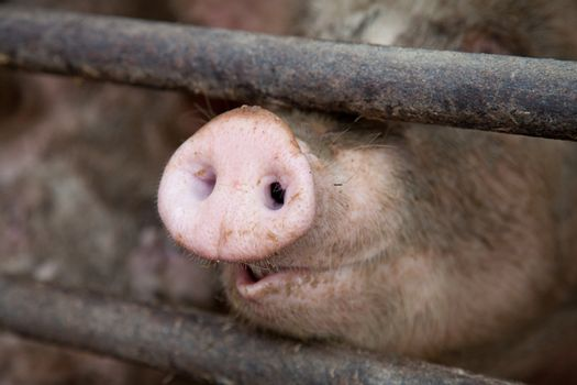Pig's Snout Behind Bars