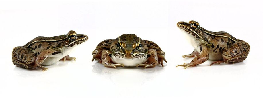 Studio shots of  Southern Leopard Frogs (Rana sphenocephala) on solid white backgrounds. Each frog was individually shot and placed in the same file to give the idea that the frogs were playing a game of leap frog. Leopard frogs are found in North America as well as northern Mexico. The population of these frogs has declined in recent years due to pollution and deforestation.