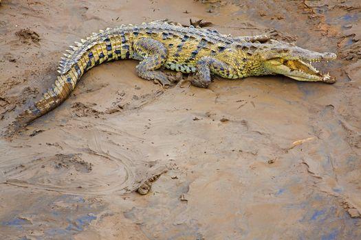 Crocodile at the riverbank