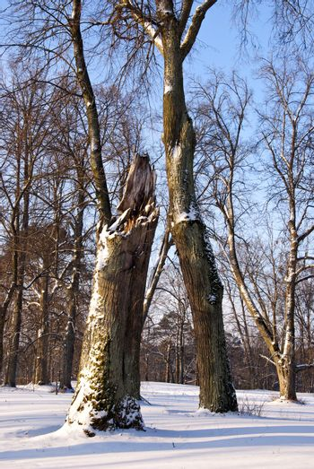 Part of broken maple trunk. Natural fragment of winter park. Snow on ground.
