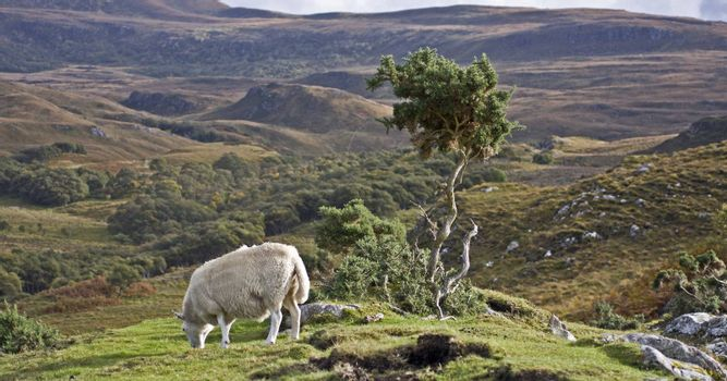 single sheep with small tree on hill in scotland