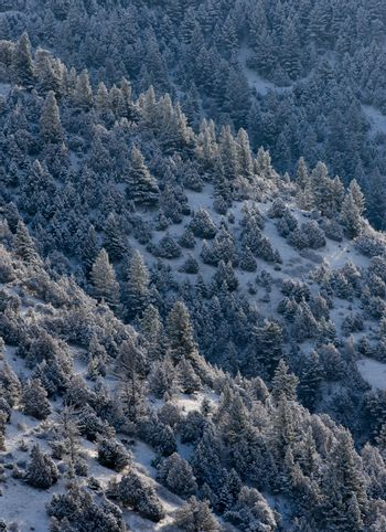 Coniferous forest in winter, Madison County, Montana, USA