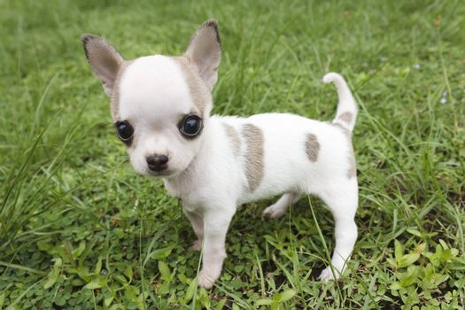 Puppy chihuahua standing at the grass