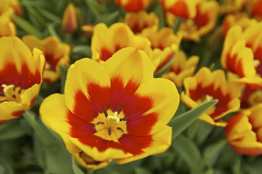 Orange and Yellow Tulips Grown in a Botanical Garden