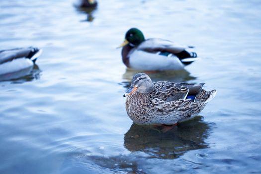 beautiful ducks in the river Vltava