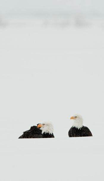 Two Bald  Eagle bust  in snow