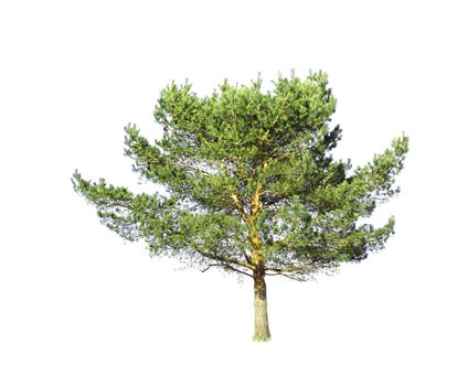 Isolated conifer