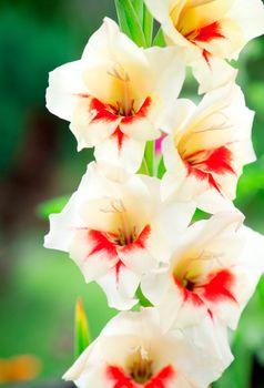 gladiolus flower in summer day