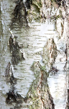 Close up of birch bark surface texture