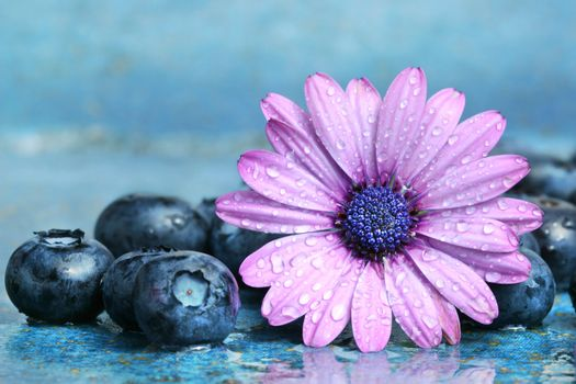 Blueberries and daisy on a aqua blue background