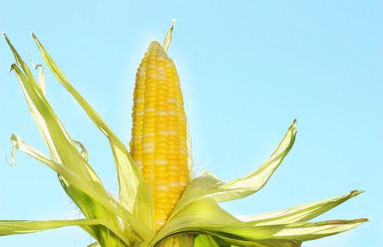 Corn in the sun against a blue sky