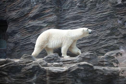 polar bear at the rock