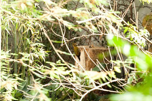 woodpecker in the bush