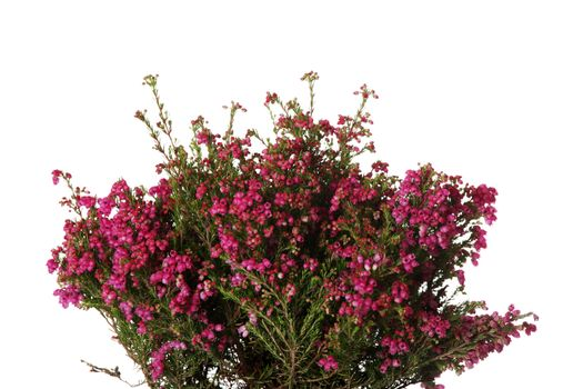 Heather with flowers