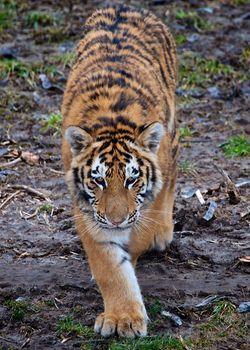 Stalking Amur tiger