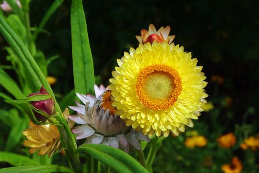 Beautiful yellow helichrysum flowers suitable for drying