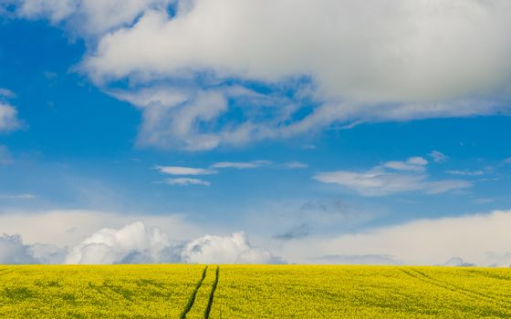 rapeseed field under cloudy sky