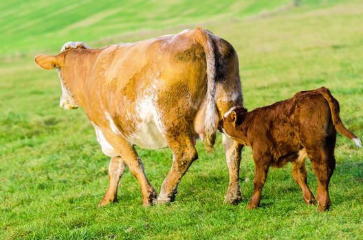 cow followed by his calf