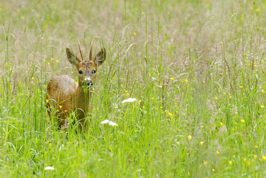a wild deer in a meadow