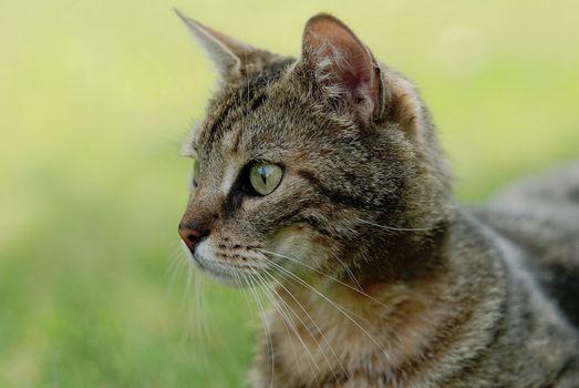 a tabby cat portrait