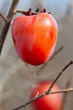 persimmon fruits on autumn tree vibrant fruit