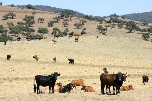 Bull cattle black toro in southern Spain
