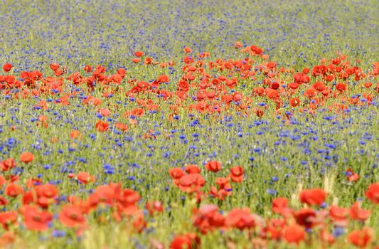 poppies and cornflower in a meadow
