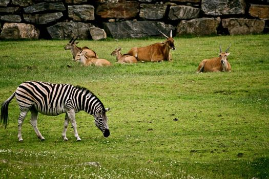 Animals relaxing and grazing