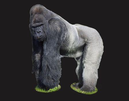 A male silverback western lowland Gorilla