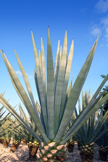 Agave tequilana plant for Mexican tequila liquor