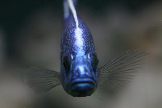 blue fish in aquarium