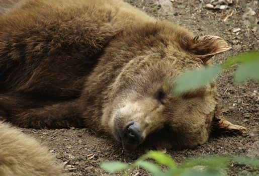 portrait of a Brown Bear while resting on the ground
