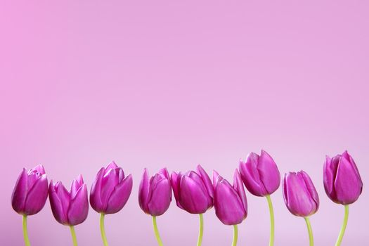 pink tulips flowers in a row group line arrangement