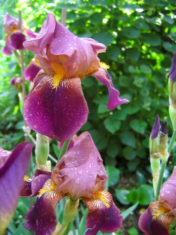 Purple iris with water droplets