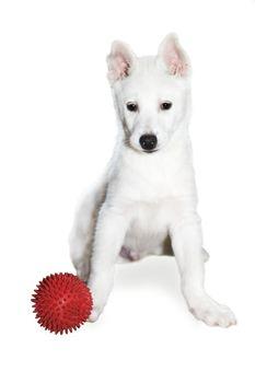 The white puppy