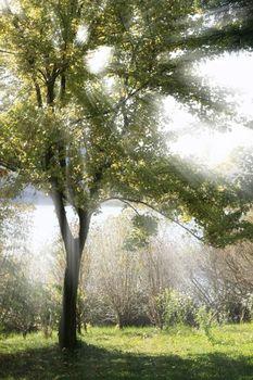 Sunbeam through a Tree