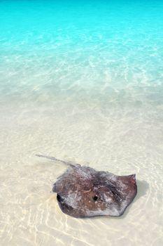 stingray Dasyatis americana in Caribbean beach