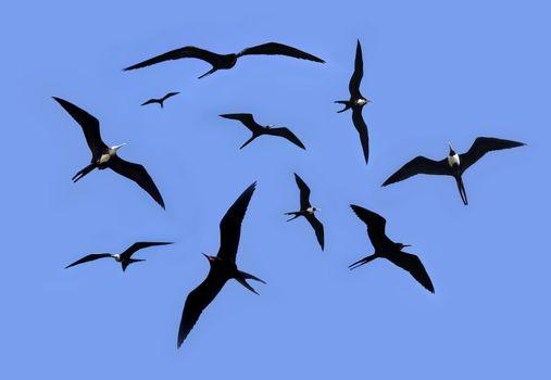 frigate bird silhouette backlight breeding season