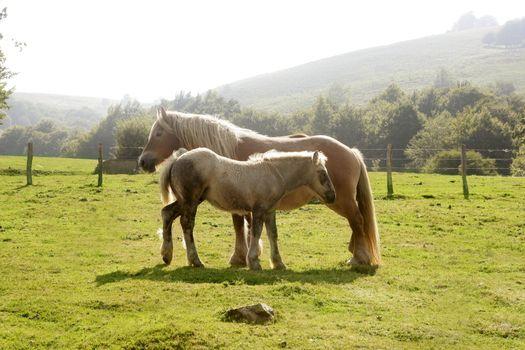 Horse landscape in green meadow Pyrenees