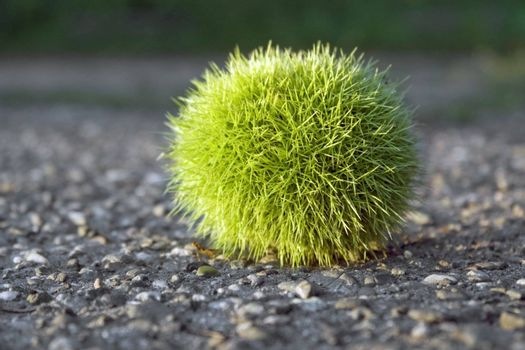 low angle shot of a fresh green chestnut ball on tarmac