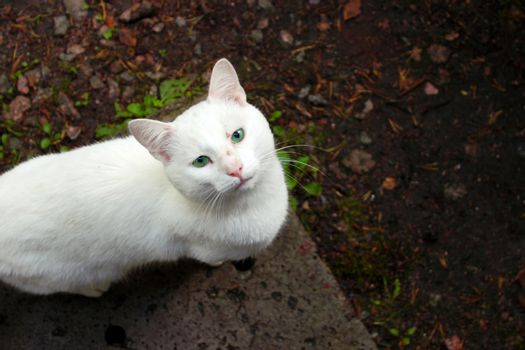 White cat with a speaking look looks upstairs at you