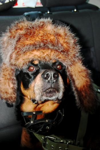 Dog rottweiler in a cap to the cap with ear-flaps